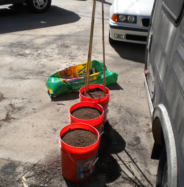 Five gallon buckets filled with dirt ready for tomato seedlings