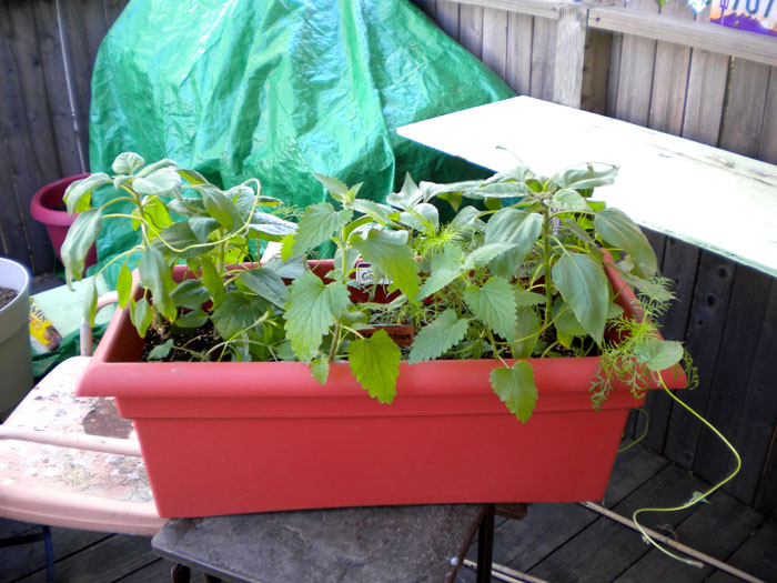 The mixed window box is doing great!