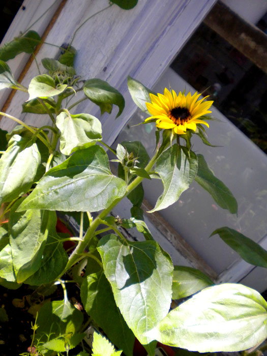 Sunflowers in a sunny spot on the deck
