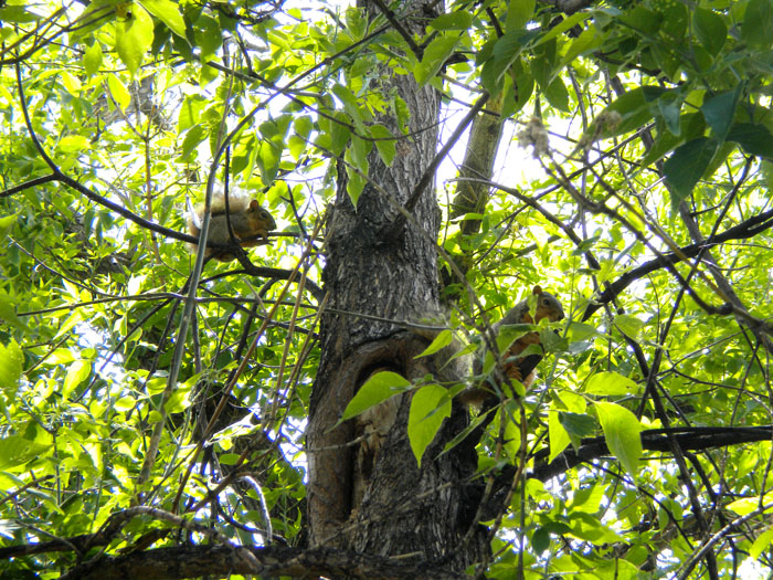 Baby and mama squirrels in our tree