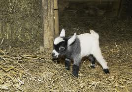 Baby pygmy goat can't lift the depression over low voter turnout.