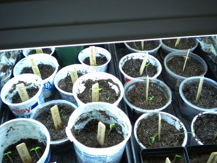 Seedlings under the lights