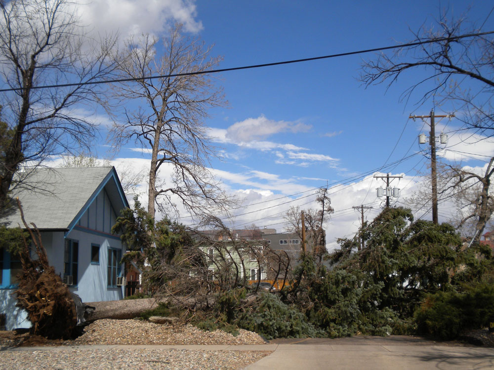 Wind knocked down this massive tree in downtown Colorado Springs.