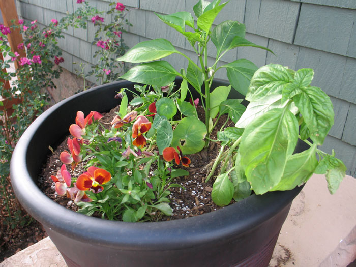 Nasturtiums, basil, pansies, and bell pepper plants.