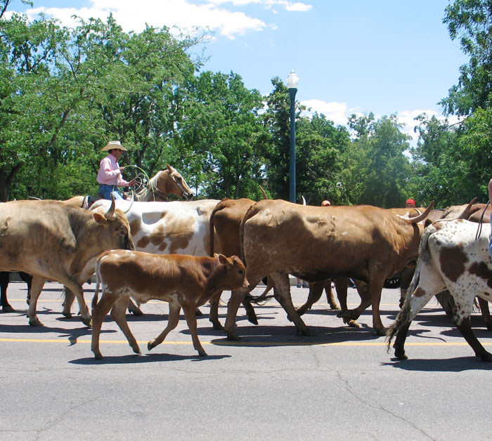 Cattle drive on Tejon St., downtown Colorado Springs