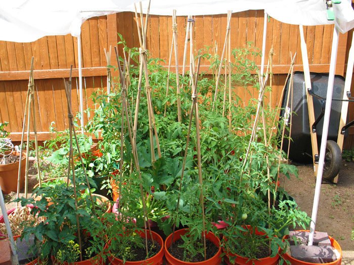 The peas just dried up one day! But the tomatoes are doing great.