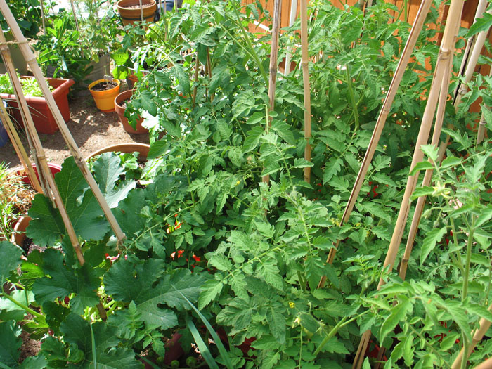 It's a forest of tomatoes!