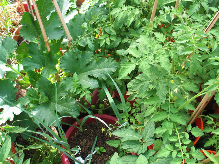 It's a forest of tomatoes and a single zuchinni