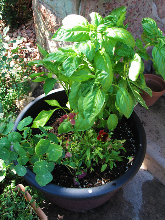 The basil is doing really well, the peppers are not doing anything much, and the nasturtiums aren't doing that great, either. Maybe because they're all in the same pot.