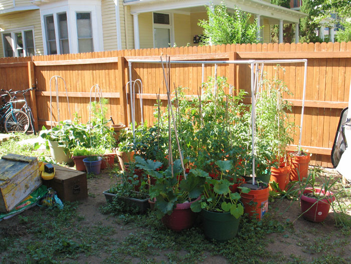 The tomato plants are huge and there are quite a few tomatoes on them, but they are taking forever to turn red!