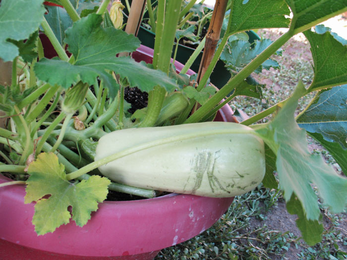 There's a single zucchini- but it's huge. I shouldn't have let it get so big. It was very seedy.