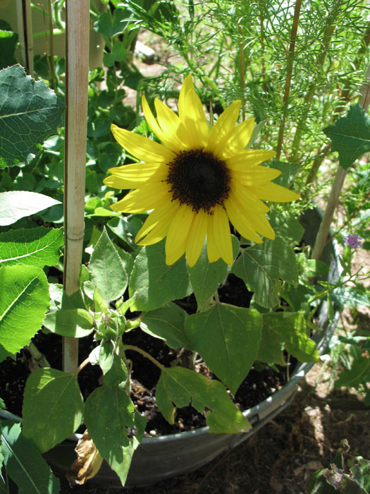 Sunflowers do really well here.