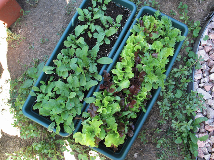 Lots of salad- easy to grow!