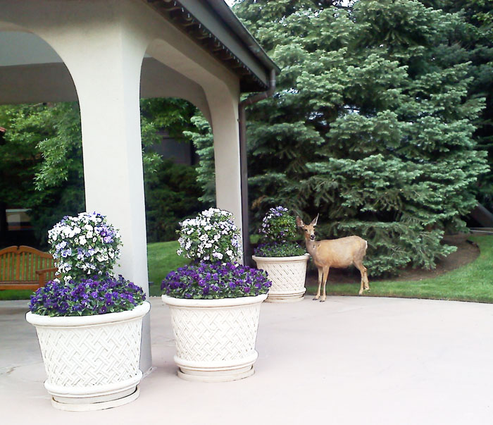 We went to The Broadmoor for my mom's birthday and saw this deer chowing down on the pretty potted plants.