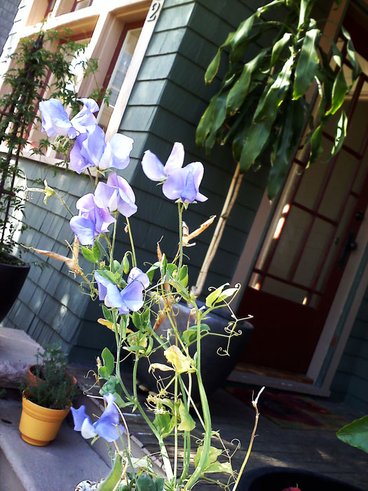 Sweet little sweet pea in the front yard.