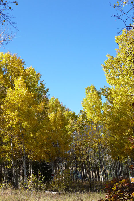 Lots of pretty leaves in the San Isabel Forest, Colorado.