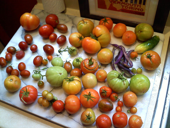 Tomatoes picked for indoor ripening
