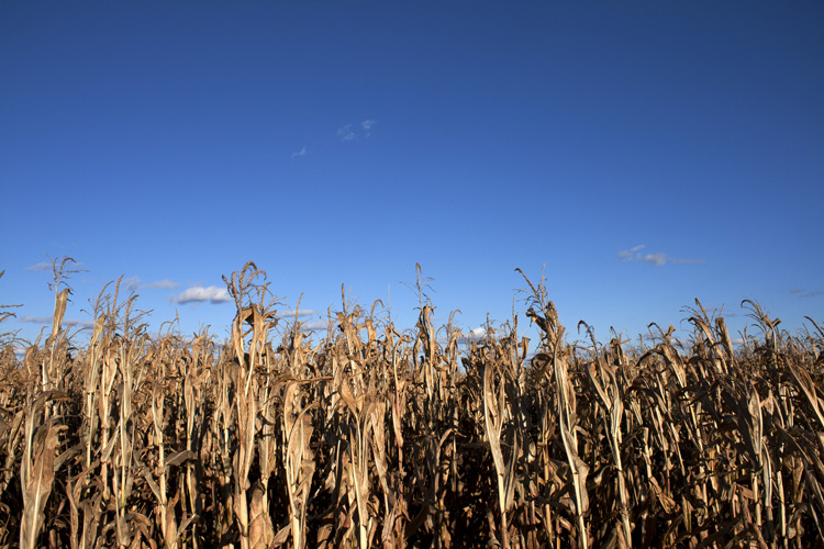corn maze, richardson's farm, illinois