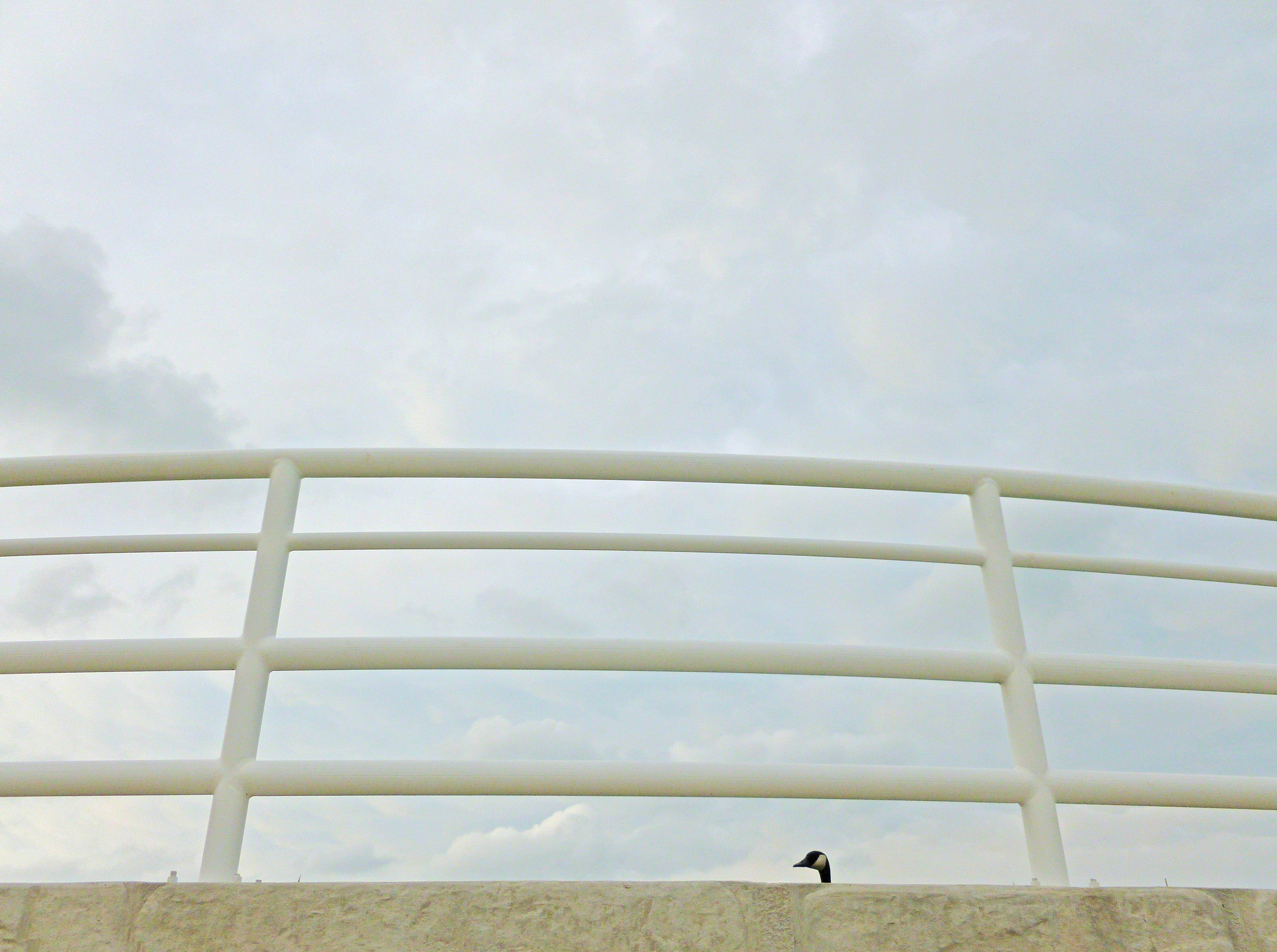 a chicago canada goose