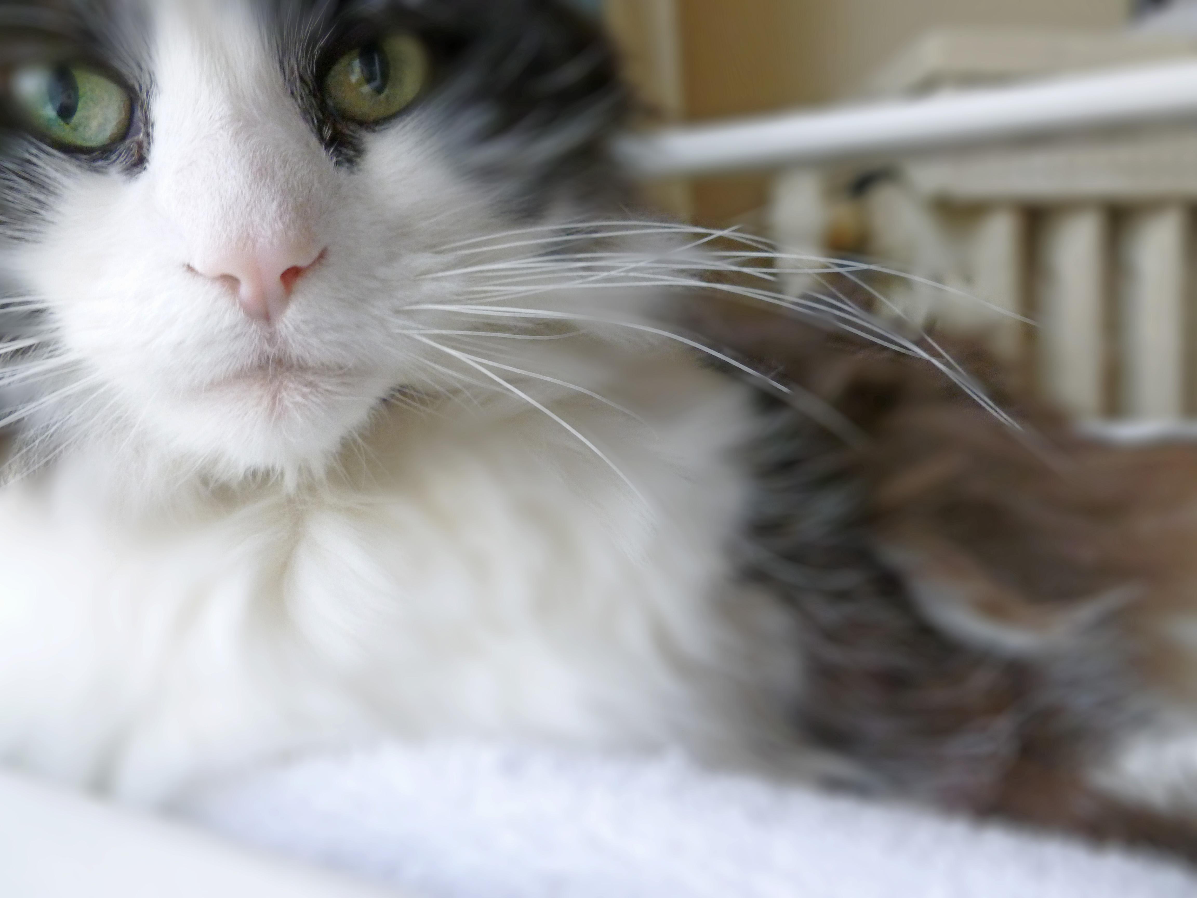 pretty tuxedo cat